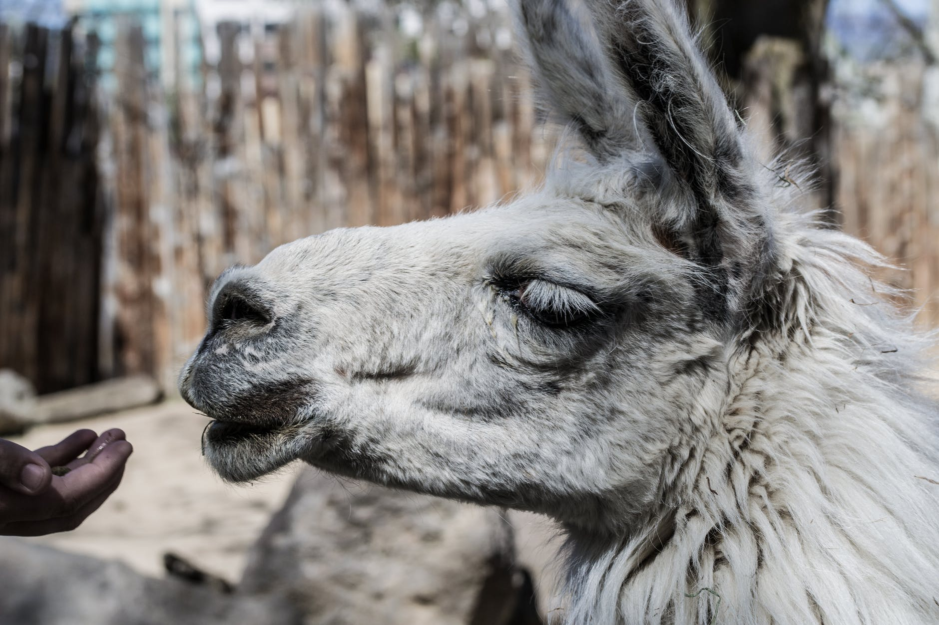 This is a purely decorative image of a very handsome llama